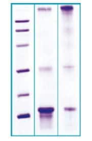 SDS-PAGE - Recombinant Human HPG1 protein (ab63279)