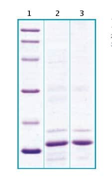 SDS-PAGE - Recombinant Rat Cystatin C protein (ab63285)