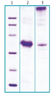 SDS-PAGE - Recombinant Human Myostatin Propeptide protein (ab63300)