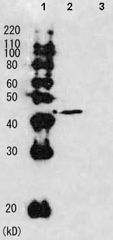 Western blot - Anti-Rhp51 antibody (ab63799)