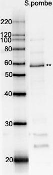 Western blot - Anti-Rad22 antibody (ab63800)