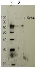 Western blot - Anti-SRB4 antibody (ab63812)