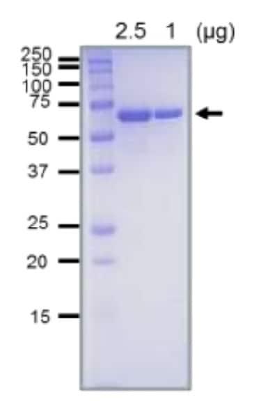 SDS-PAGE - Recombinant <em>E. coli </em> RecQ DNA Helicase protein (ab63813)