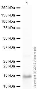 Western blot - Anti-S100A9 antibody (ab63818)