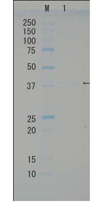 SDS-PAGE - Recombinant <em>E. coli </em> RuvB protein (Active) (ab63827)
