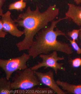 Immunocytochemistry/ Immunofluorescence - Anti-Wnt1 antibody (ab63934)
