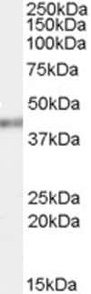 Western blot - Anti-PCBP4 antibody (ab63948)