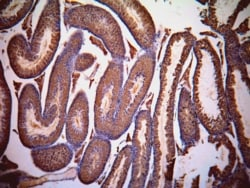 Immunohistochemistry (Formalin/PFA-fixed paraffin-embedded sections) - Anti-Lactate Dehydrogenase C antibody (ab63965)