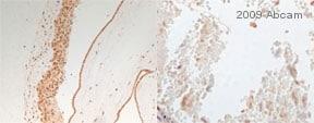 Immunohistochemistry (Frozen sections) - Anti-NDRG1 antibody (ab63989)