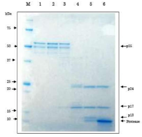 SDS-PAGE - Recombinant HIV1 p55 protein (ab63995)