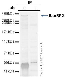 Immunoprecipitation - Anti-RanBP2 antibody (ab64276)