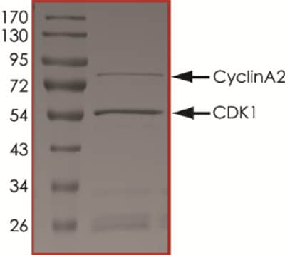 SDS-PAGE - Recombinant human CDK1 + Cyclin A2 protein (ab64299)