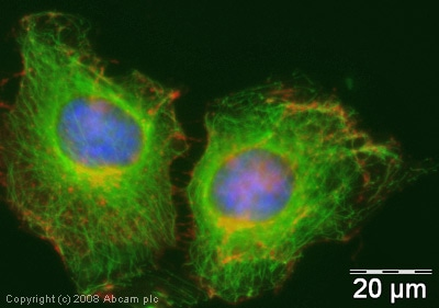 Immunocytochemistry/ Immunofluorescence - FITC Anti-alpha Tubulin antibody [DM1A] - Microtubule Marker (ab64503)