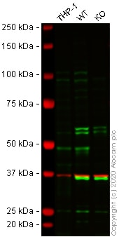 Western blot - Anti-JMJD6 antibody (ab64575)