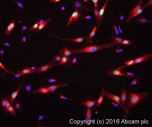 Immunocytochemistry/ Immunofluorescence - Anti-MEF2A + MEF2C antibody (ab64644)