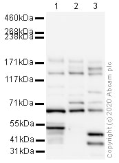 Western blot - Anti-PAR-3/PARD3 antibody (ab64646)