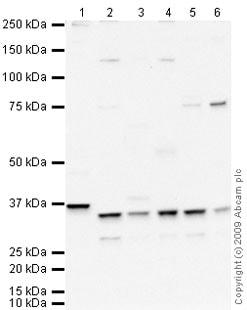 Western blot - Anti-Cdk2 antibody (ab64669)
