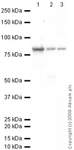 Western blot - Anti-Transglutaminase 2 antibody (ab64771)