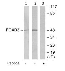 Western blot - Anti-FOXD3 antibody (ab64807)