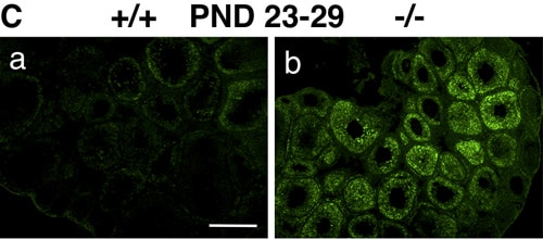 Immunohistochemistry (Frozen sections) - Anti-COL11A1 antibody (ab64883)