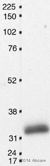Western blot - Anti-p27 KIP 1 (phospho T198) antibody (ab64949)