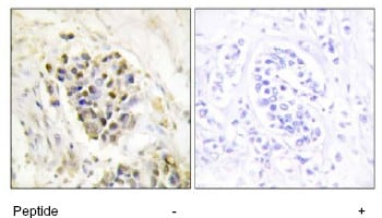 Immunohistochemistry (Formalin/PFA-fixed paraffin-embedded sections) - Anti-TRAP220/MED1 antibody (ab64965)