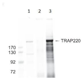 Immunoprecipitation - Anti-TRAP220/MED1 antibody (ab64965)