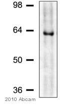 Western blot - Anti-CLK2 antibody (ab65082)