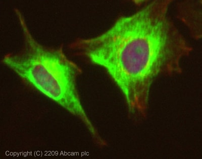 Immunocytochemistry/ Immunofluorescence - Anti-ACK1 antibody (ab65108)