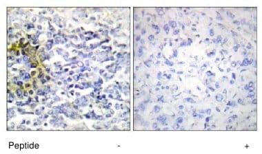 Immunohistochemistry (Formalin/PFA-fixed paraffin-embedded sections) - Anti-FXR2 antibody (ab65122)