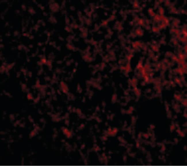 Immunocytochemistry/ Immunofluorescence - Anti-IEX1/IER3 antibody (ab65152)