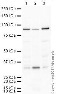Western blot - Anti-SUN2 antibody (ab65447)