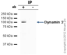 Immunoprecipitation - Anti-Dynamin 2 antibody (ab65556)