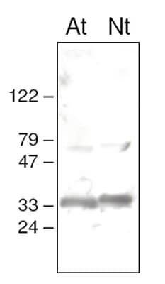 Western blot - Anti-MSP-1 antibody (ab65563)