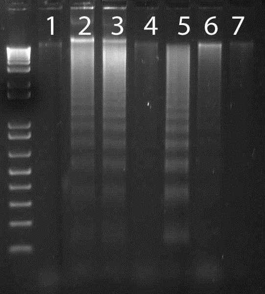 Functional Assay: ab65627 Apoptotic DNA Ladder Isolation Kit