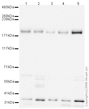 Western blot - Anti-NMDAR2B antibody (ab65783)