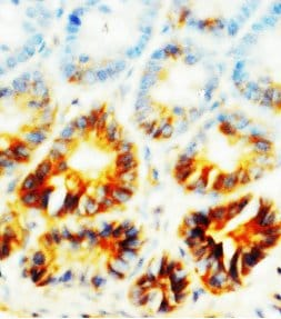 Immunohistochemistry (Formalin/PFA-fixed paraffin-embedded sections) - Anti-Alkaline Phosphatase, Tissue Non-Specific antibody (ab65834)