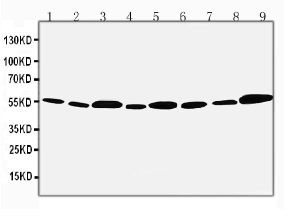Western blot - Anti-FIF antibody (ab65836)