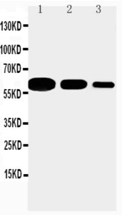 Western blot - Anti-CD40 antibody (ab65853)