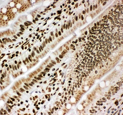 Immunohistochemistry (Frozen sections) - Anti-Lamin B1 antibody (ab65986)