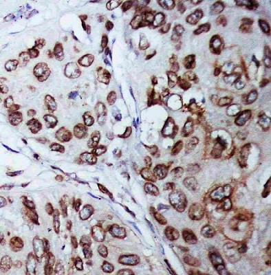 Immunohistochemistry (Formalin/PFA-fixed paraffin-embedded sections) - Anti-Lamin B1 antibody (ab65986)