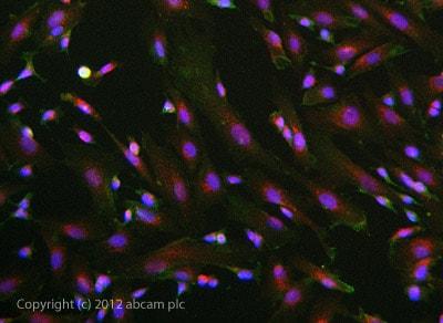 Immunocytochemistry/ Immunofluorescence - Anti-SNAP25 antibody (ab66066)