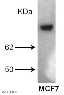 Western blot - Anti-Estrogen Receptor alpha antibody [C-542] - ChIP Grade (ab66102)