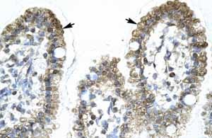 Immunohistochemistry (Formalin/PFA-fixed paraffin-embedded sections) - Anti-AMY-1 antibody (ab66331)