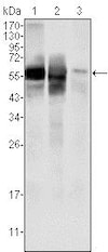 Western blot - Anti-AMF antibody [1B7D7] (ab66340)