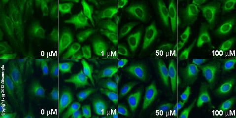 Immunocytochemistry/ Immunofluorescence - Anti-PAI1 antibody (ab66705)