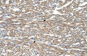 Immunohistochemistry (Formalin/PFA-fixed paraffin-embedded sections) - Anti-COX IV antibody (ab66739)
