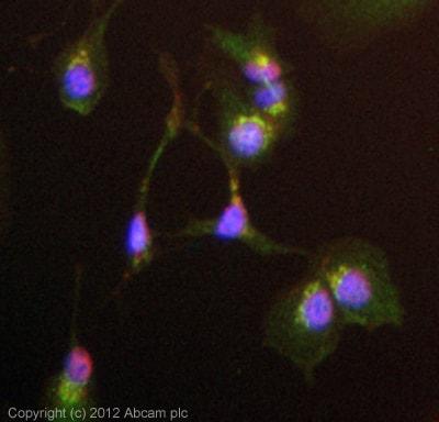 Immunocytochemistry/ Immunofluorescence - Anti-C4b antibody (ab66791)