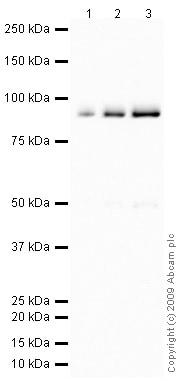 Western blot - Anti-C4b antibody (ab66791)
