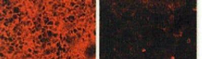 Immunocytochemistry/ Immunofluorescence - Anti-HBEGF/DTR antibody [4G10] (ab66792)
